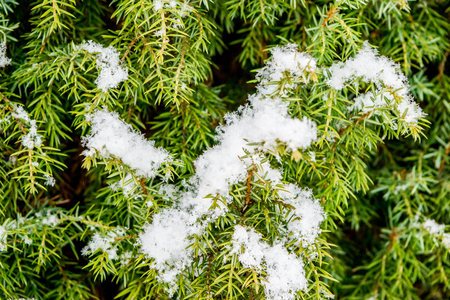 conifer: Conifer with snow macro Stock Photo