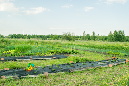 urals: Beds with strawberries at early spring Russia The Urals