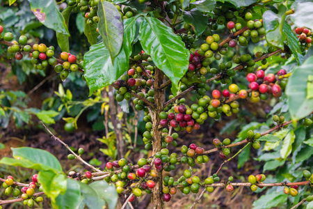 Coffee beans at a plantation after rain in Vietnam Stock Photo