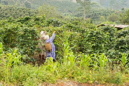 zbiór kawy w Wietnamie w pobliżu Da Lat