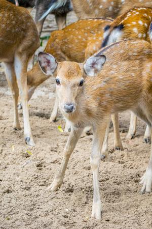 Herd of Sika deers, young female with large eye, Vietnam, island, Nha Trang