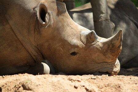 Sleepy rhino lying on the ground photo