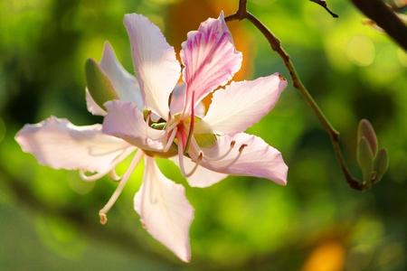 Thailand  s flower