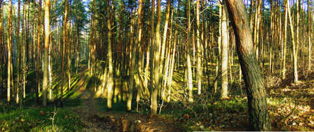 Panorama of pine forest autumn, narrow forest path  photo