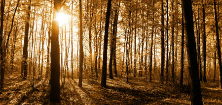 Panorama of autumn deciduous  forest , sunny rays, sun, light, shadow, brown tint of image.