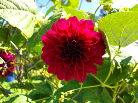 Red flower on background of green leafs, sky, summer