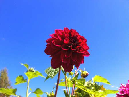 Claret  flower on background of skies, green leafs, summer.