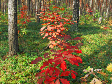 Autumn red leafs of oak on background of forest, green leafs of berries.