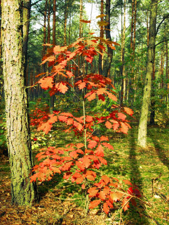 Red leafs of oak on background of forest, autumn.