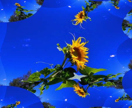 Flowers of sunflower on background of skies, summer, fractal. Stock Photo