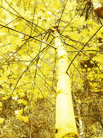 Tree,  yellow autumn leafs, yellowly brown tone of  image.