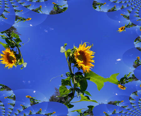 Pattern from flowers of sunflower on background of skies, fractal, summer. Stock Photo