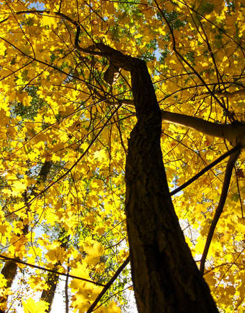 Tree with  brown and yellow leafs , autumn, maple, sky. Stock Photo