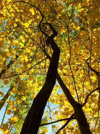 Autumn trees on background of sky, yellow and brown leafs of maples.