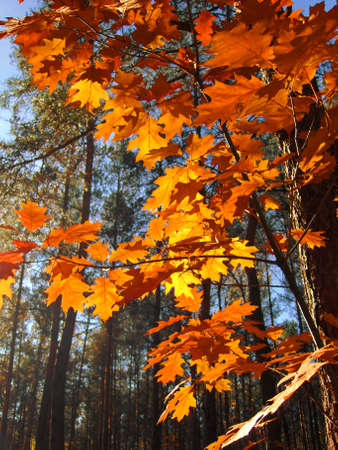Red leafs of oak  in forest autumn.
