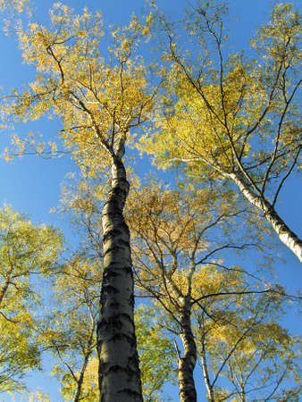 Trees autumn on background of skies, birches, yellow leafs.