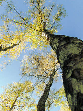 Yellow leafs of birches on background of sky autumn.