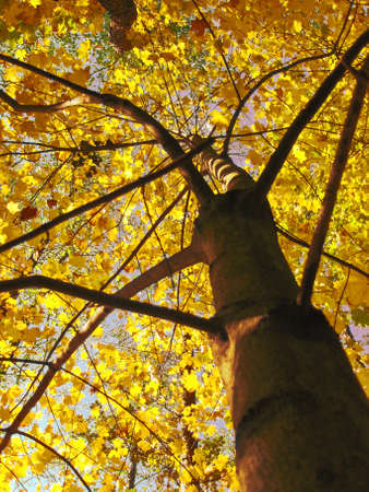 Tree on background of sky autumn, yellow leafs of maple.