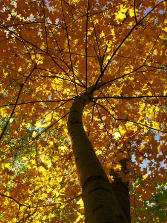 Tree on background of sky autumn, yellow and brown leafs of maple.