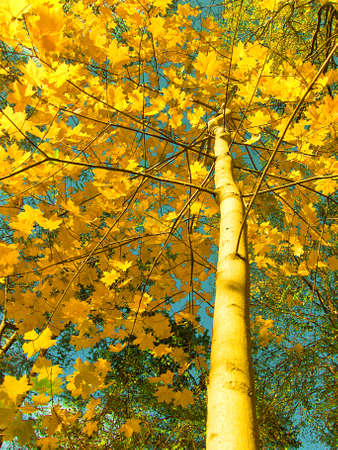 Maple on background of sky autumn, orange leafs of tree, forest, sky. Stock Photo - 16583274