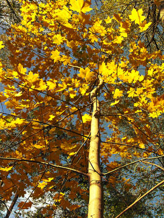 Maple on background of sky, orange leafs of tree, forest, sky, autumn.