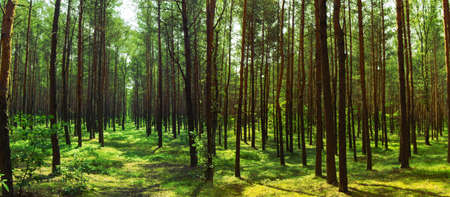 Panorama of pine forest, summer, green tone of  image.