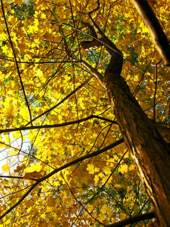 Maples in forest, yellow leafs of trees, autumn.