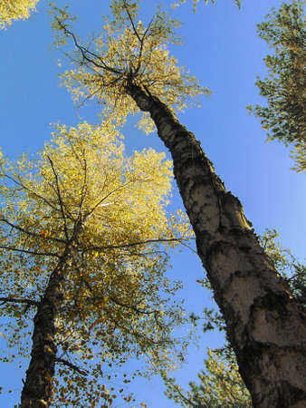 Birches on background of skies, yellow leafs of trees, autumn.