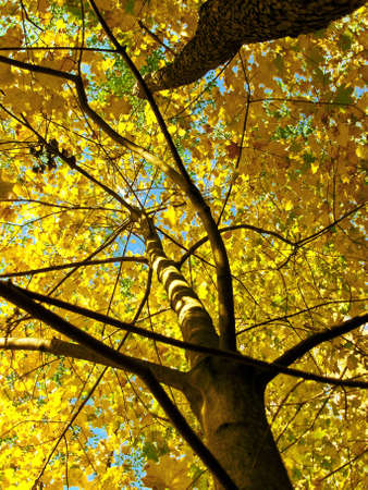 Maples on background of skies, yellow leafs of trees, autumn.