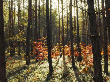 Forest autumn, red leafs of oaks, leafs of berries, sky, pines.