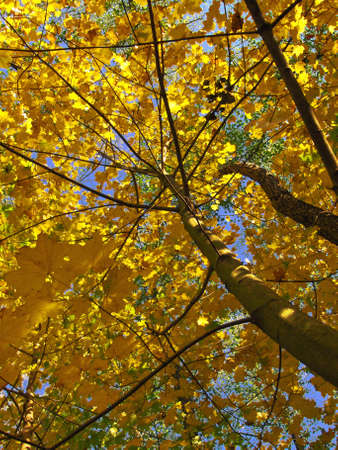 Maples on background of sky, yellow and green leafs of trees, autumn.