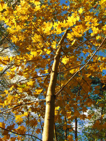 Maple on background of skies, clouds, yellow and green leafs of trees, pines, autumn. Stock Photo