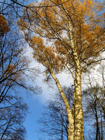 Trees on background of sky, birches, pines, autumn