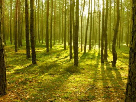 Pine forest autumn, sun, sunny rays, light, shadow  Stock Photo