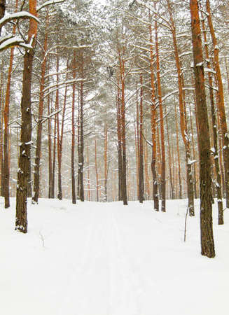 Snow, road, winter in pine forest.