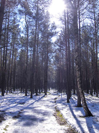 Snow, road, sunny pine forest winter.