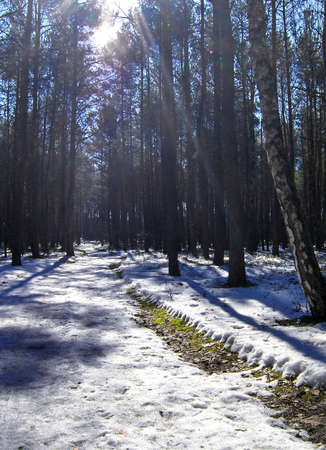 Snow, sun, sky, road winter in pine forest.