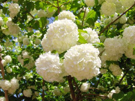 White flowers , spring.