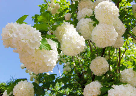 White flowers on background of sky, spring.