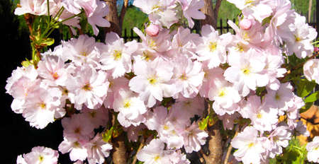 Panorama from pink spring flowers.