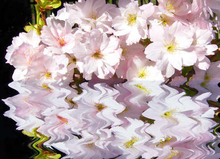 Small pink flowers above water, reflection in water, spring. Stock Photo