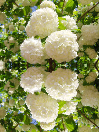 Mirror reflection of white spring flowers.