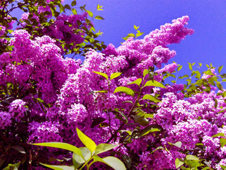 Pink blooming lilac on background of sky, painting, spring. Stock Photo