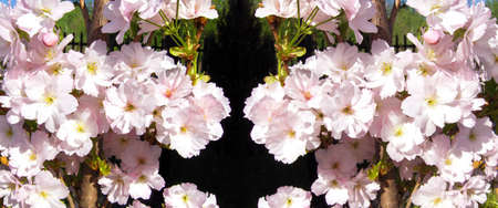 Panorama from large quantity of small of pink spring flowers.