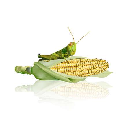 Grasshopper eating corn isolated on white background, vector illustration.