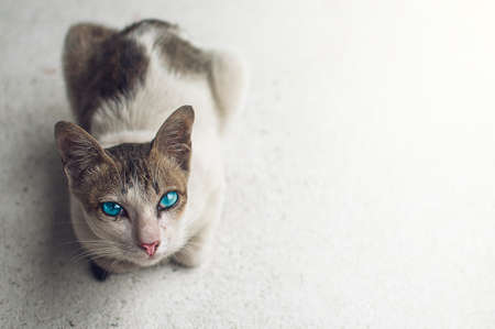 Blue eyes cat, Cute little brown-white cat on floor at home.