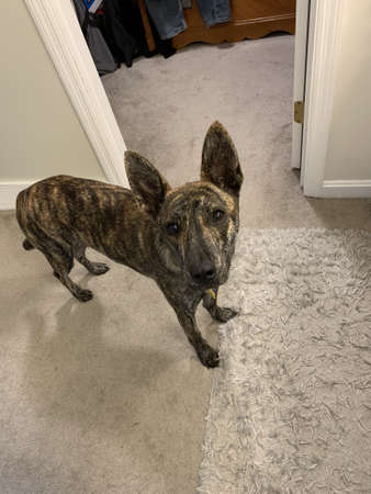 sweet brindle dog in a house
