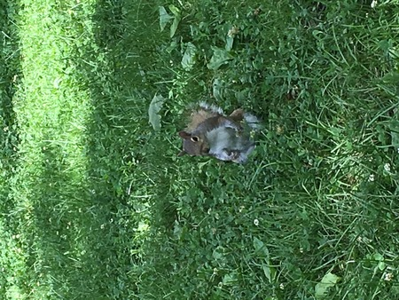 Curious hungry squirrel visitor begging for food in the green grass at the park
