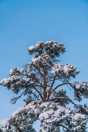 View to tree top covered with snow in cloudless winter day LANG_EVOIMAGES