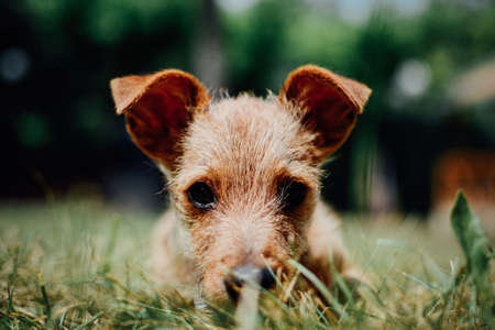 Cute little puppy laying in the grass. Horizontal outdoors shot LANG_EVOIMAGES